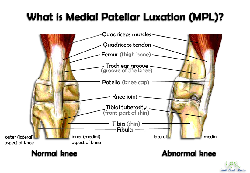 Bone & Joints: Medial Patellar Luxation